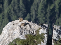 Marmotta 8