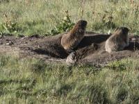 Marmotte 7