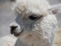 Alpaca - In Perù vengono allevate per il vello morbidissimo ma vengono anche servite nei ristoranti