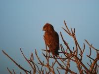 Brown Snake Eagle - Rapace di vedetta - Kruger National Park (South Africa)