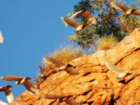 Cacatua - Pappagallo tipico nell'outback Australiano
