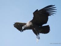Condor femmina - In volo alla Cruz del Condor - Canyon del Colca (Perù)