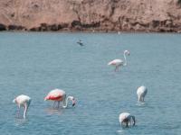 Fenicotteri alle saline del parco di San Pedro del Pinatar (Cartagena)