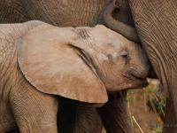 Elefantino - Allattamento nel Kruger National Park (South Africa)