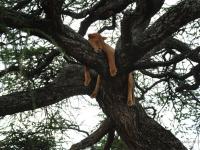 Giovane leone - Dormita sull'albero nel Serengeti (Tanzania)