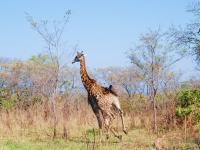 Giraffa - Di corsa nel Kruger National Park (South Africa)