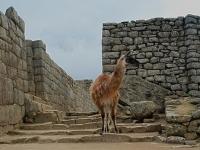Lama - Fra le rovine di Macchu Picchu (Perù)