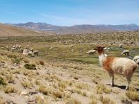 Lama - Pascoli negli altopiani andini (Perù)