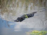 Alligatore, Everglades National Park
