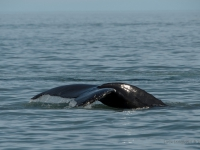 Whale, Husavik