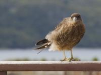 Terra del Fuoco - Falco grillaio
