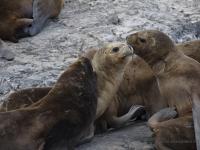 Canale di Beagle - leoni marini