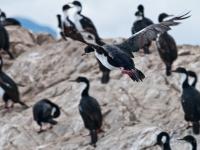 Canale di Beagle - cormorani