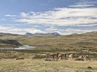 Torres del Paine - guanaco